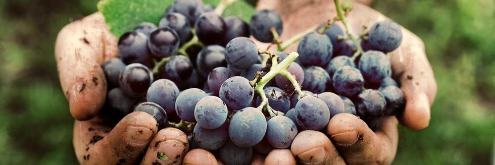 grapes from vineyard